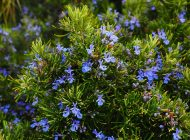 Que se cache-t-il dans les herbes de Provence et comment les utiliser ?
